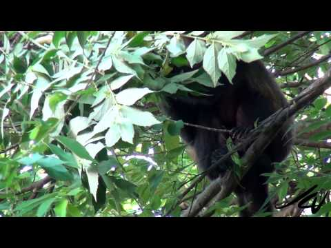Howler Monkeys and power lines