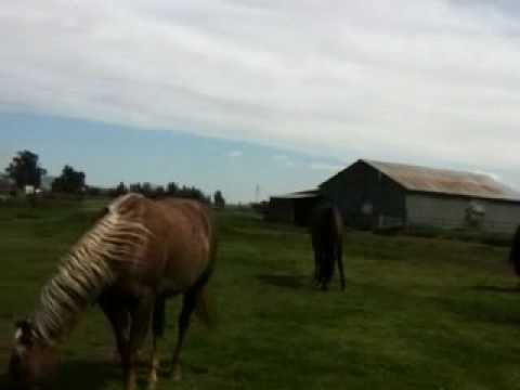 Stallion Mustang stealing mares in herd 2of 6 - Rick Gore Horsemanship
