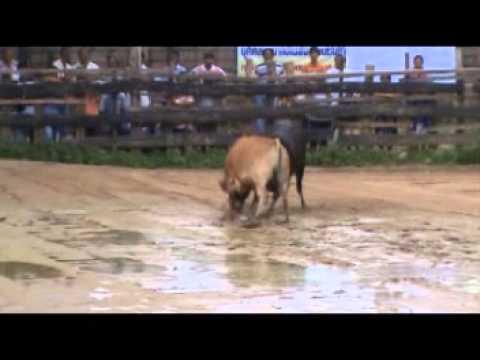 วัวชนเงินแสน ลังสาดมาวิน - โ