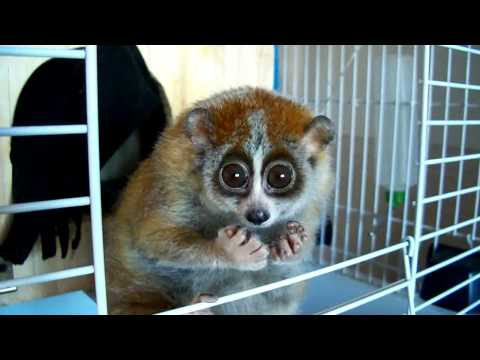 "Do you want to know more about Sonya? (slow loris – ""The Tickle Lover"") What Is Local Search"
