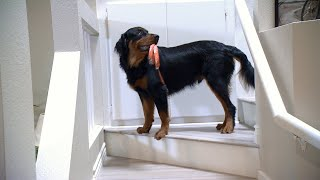 Can This Playful Rescue Dog Get The Hang Of The Service Dog Lifestyle? - ANIMALPLANETTV