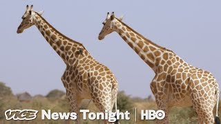 Niger's Giraffes Came Back From Extinction. Now They're Poaching People's Food. (HBO) - VICENEWS