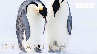 Adorable Penguins practice their parenting skills! | Dynasties - BBC - BBC