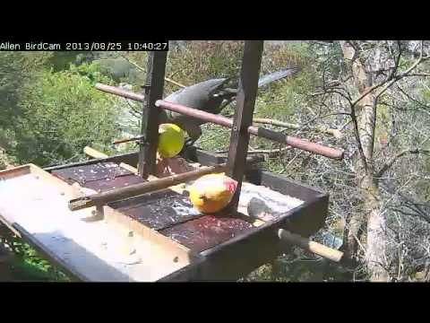 Grey Lourie on Allen BirdCam 25 Aug '13