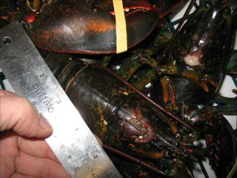 Lobster Trawl Disaster