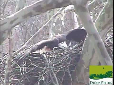 Hawk Attacks Bald Eagle Hatching Eggs Part 1 3-24-2013 DF
