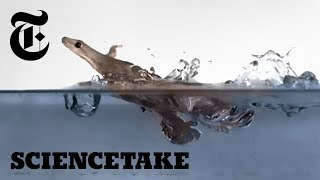 These Geckos Can Run on Water (Sort Of) | ScienceTake - THENEWYORKTIMES