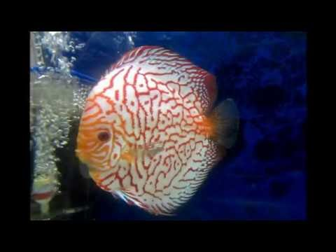 Aquarama - The International ornamental fish exibition- Singapore 2013