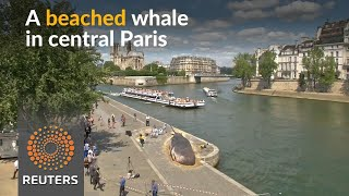 "Beached ""whale"" found in central Paris - REUTERSVIDEO"