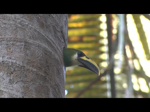 Belize birding Mayflower Bocawina NP