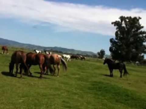 Stallion Mustang stealing mares in herd 6 of 6 - Rick Gore Horsemanship