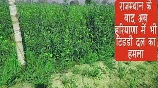 video:राजस्थान के बाद अब हरियाणा में भी टिडडी दल का हमला