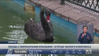 Черный лебедь с подрезанными крыльями развлекает жильцов элитного ЖК в Алматы