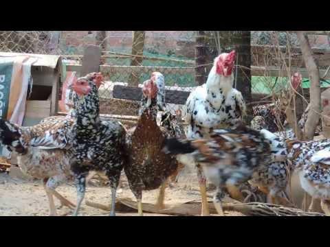 Galo Índio Gigante , 1.05 mt  , Venda de ovos :G Mail : bentoagro11@gmail.com