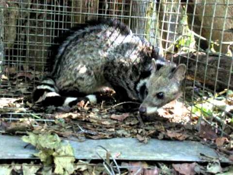 Large Indian Civet named Wow.