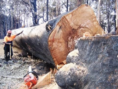 Bush Fires Victoria Australia Big Tree and Tree Felling take down by a 3120XP husky chainsaw.