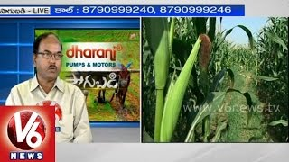 Expert suggestions for protecting maize crop - Dr. M R Sudharshan - Sagubadi - V6NEWSTELUGU