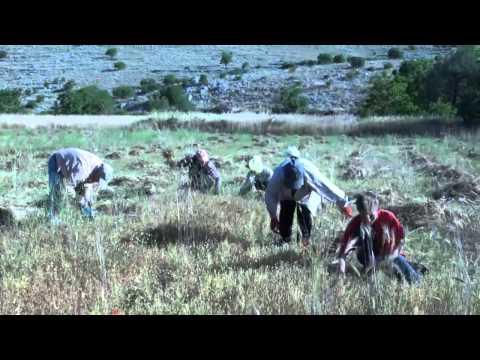 Σπορα -  βγαλσιμο -  Αλωνισμα -  Φακης  ΕΓΚΛΟΥΒΗΣ ΛΕΥΚΑΔΑΣ 2 - 7 - 2013