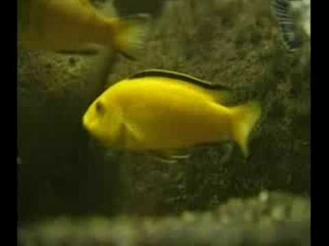 Cichlid Breeding Advice (Check it out!!!)