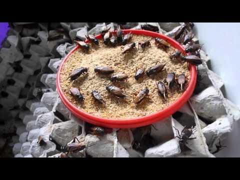 การเลี้ยงจิ้งหรีดดำ  บ้านม่วงไข่