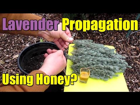 Propagating Semi-Hardwood Lavender Cuttings Using Honey?!?