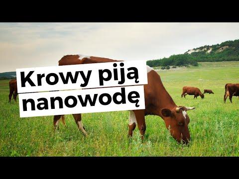 Krowy piją nanowodę