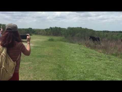 Horse Stomps On Alligator