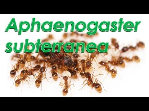 Le formiche di  Gianni - Aphaenogaster subterranea