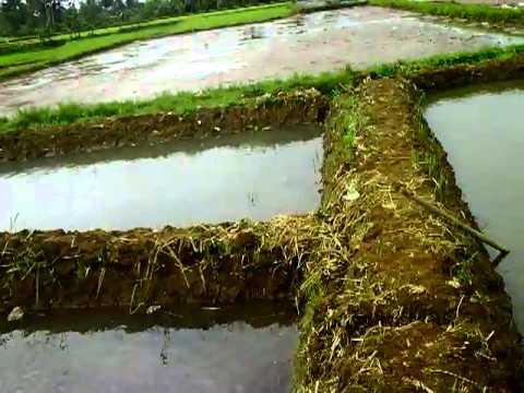 Kolam Lele Kelompok Pembudidaya Ikan air tawar Putra Mandiri Sukabumi