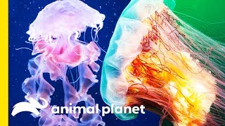 The Painful Science Behind Jellyfish - ANIMALPLANETTV