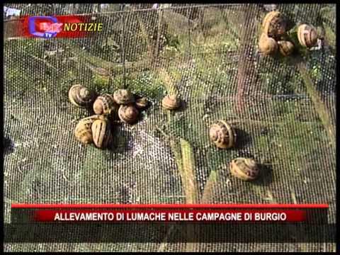 Allevamento di lumache a Burgio