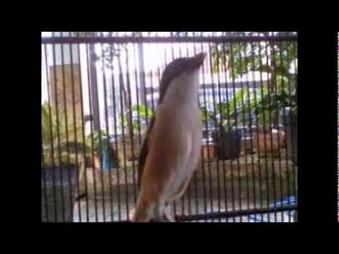 Menjebak Burung Cendet | Menangkap Burung Cendet Kepala Hitam