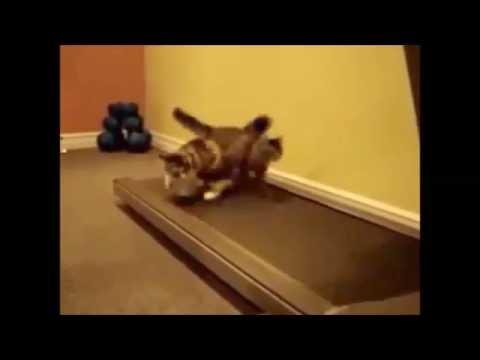 Cat walk on treadmill...must watch