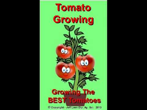Tomato Growing Growing Tomatoes Backyard 1