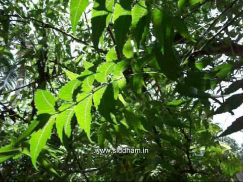 Medicinal Plants or Medicinal Herbs - Azadirachta indica (Siddha Medicine) (Materia Medica)