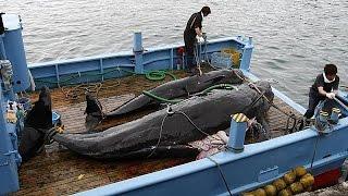«اللجنة الدولية» ترفض قرار مواصلة صيد الحيتان بالمحيط الجنوبي
