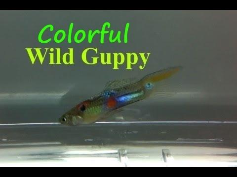 Wild Guppy
