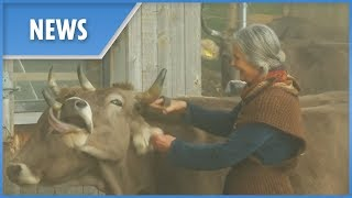 Cows with or without horns? Swiss set to vote - THESUNNEWSPAPER