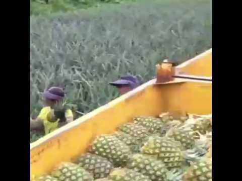 حصاد الاناناس
