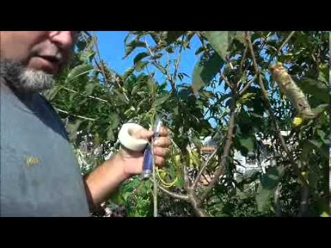 Bud grafting cherry trees