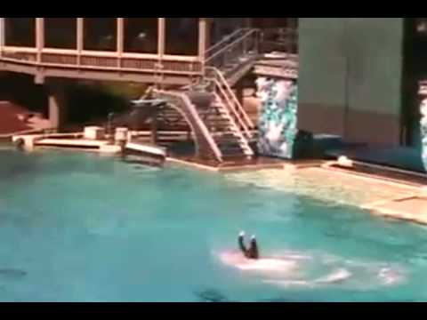 Killer Whale Attacks at Sea World UNCUT VIDEO