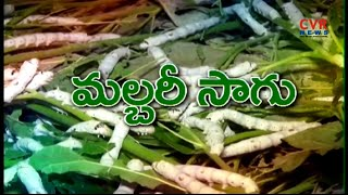 మల్బరీ సాగుతో అధిక లాభాలు : Abundantly Mulberry Cultivation in East Godavari District | Raithe Raju - CVRNEWSOFFICIAL
