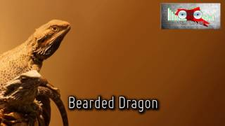 Royalty FreeBackground:Bearded Dragon