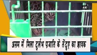 video : असम के चिरांग में मिला तेंदुए की दुर्लभ प्रजाती का शावक