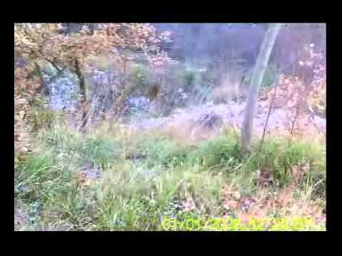 Caccia Al Cinghiale abbattimento del 09/12/2012