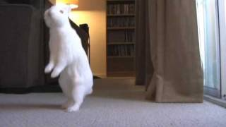Video Kelinci Berjalan Seperti Manusia Kelinci lucu ini bernama Simon asal Amerika Serikat. Keahliannya berjalan direkam dan diunggah pada situs berbagi video Youtube oleh akun linimasa zacheh
