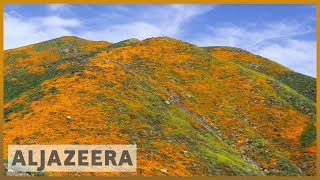 🇺🇸 'Super bloom' phenomenon draws sightseers to California city | Al Jazeera English - ALJAZEERAENGLISH
