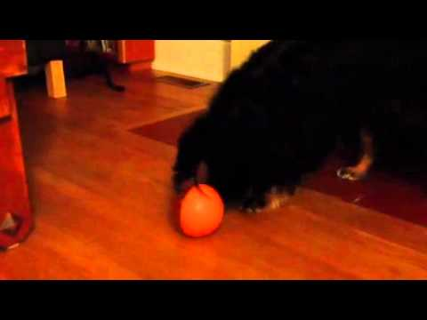 iQ treat ball for my too-smart puppeh