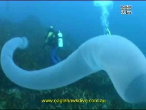 Giant Pyrosome and Salps pelagic sea squirts