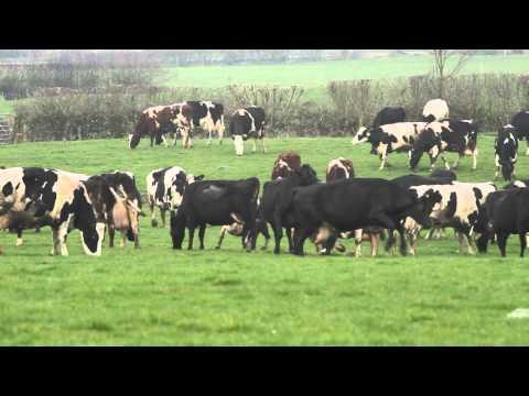 Dancing Cows?
